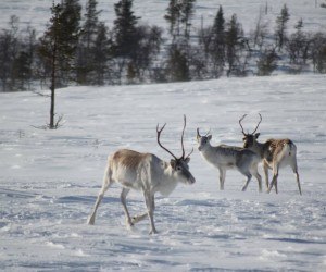 Laponia (Rovaniemi)